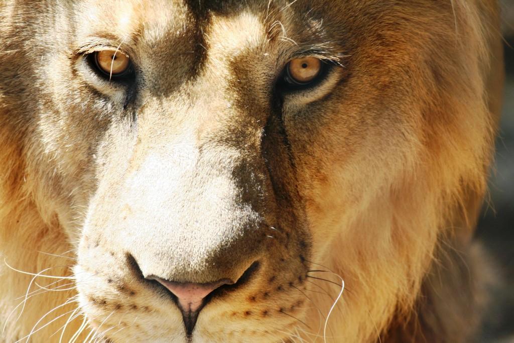 lion as Jesus